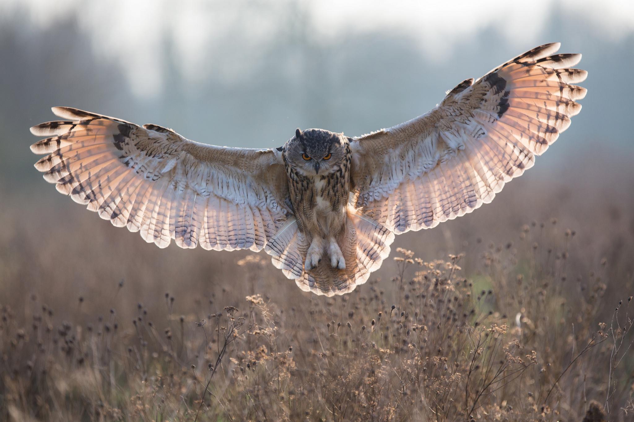 Owl bird flying spread wings wallpaper 2048x1365 182350 2048x1365