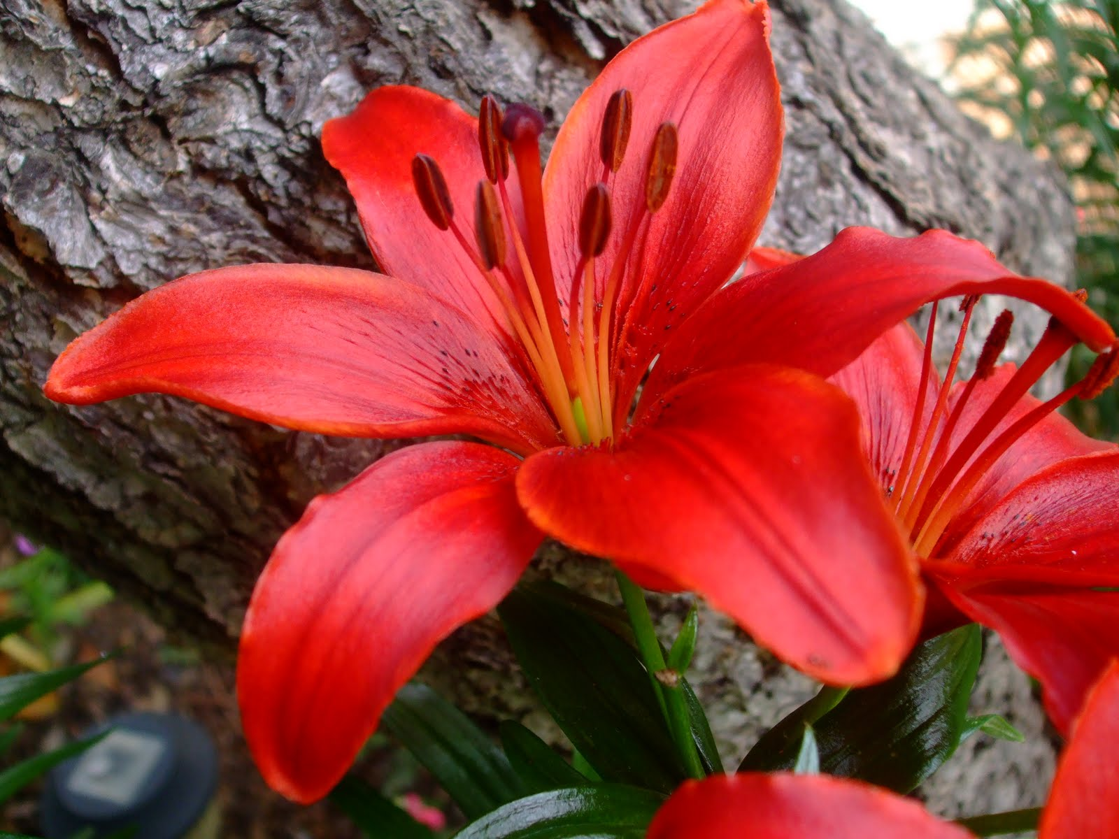 red lilies flowers wallpaper red lilies flowers wallpaper red lilies 1600x1200
