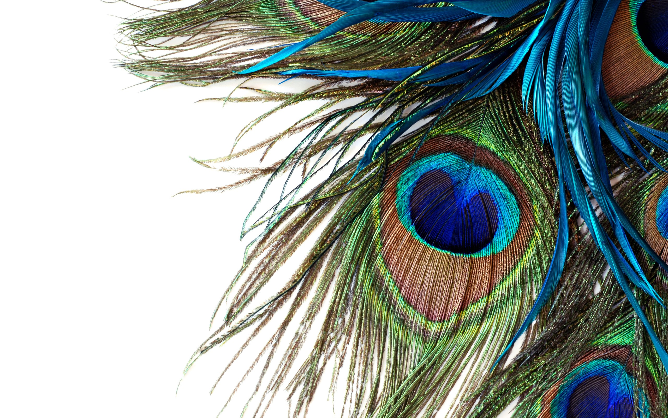 Peacock Feather Wallpaper Windows 10