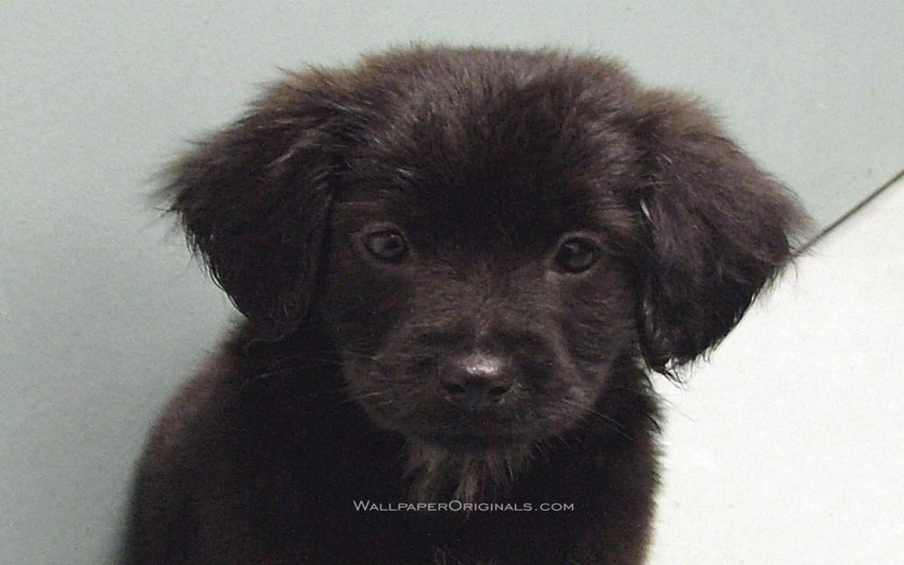 Black Lab Puppy Desktop Backgrounds For Mac Dogs Desktop Lab Black 1280x800