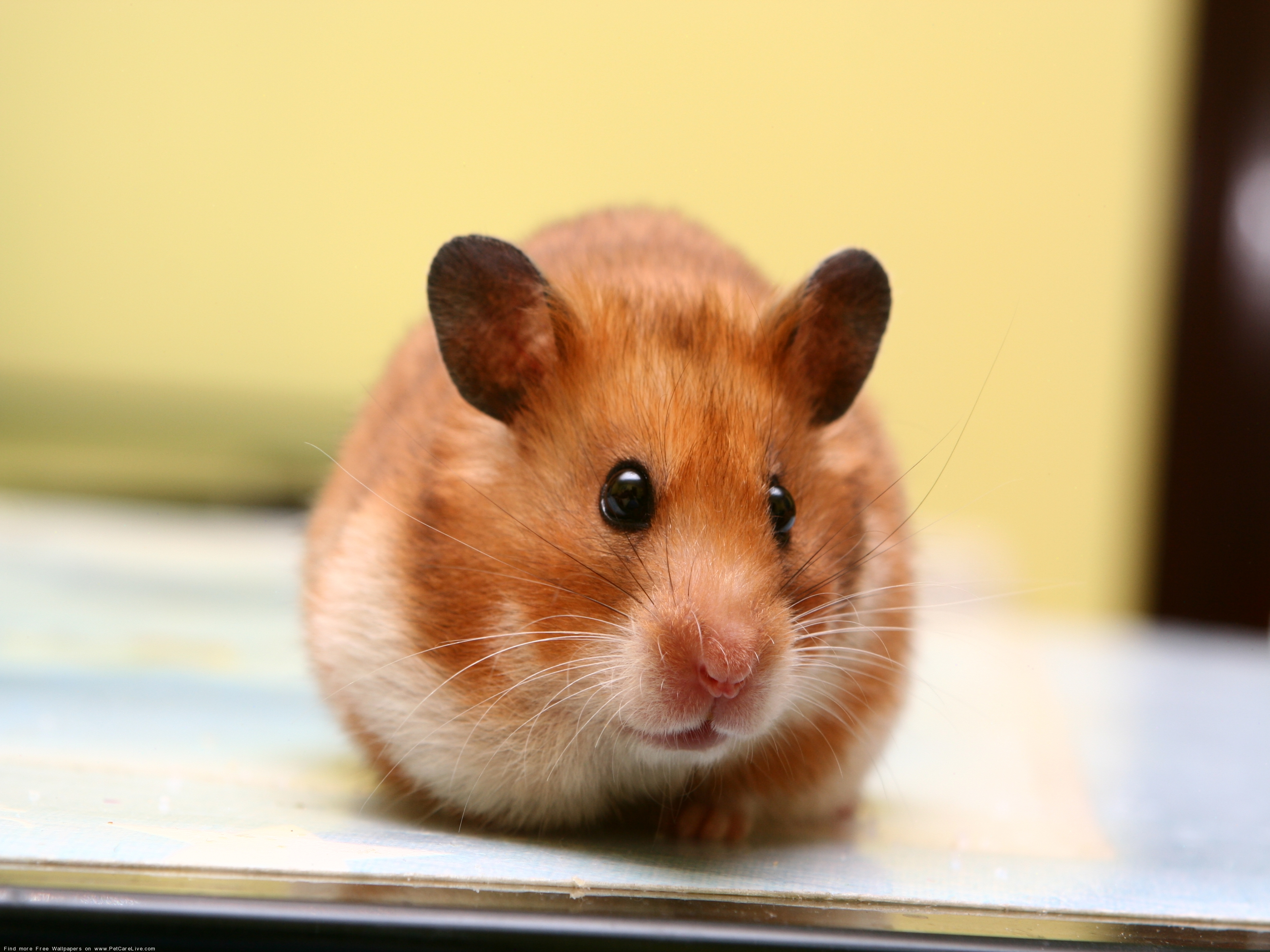 The Hamster computer wallpaper pictures for PC computer 2 3200x2400