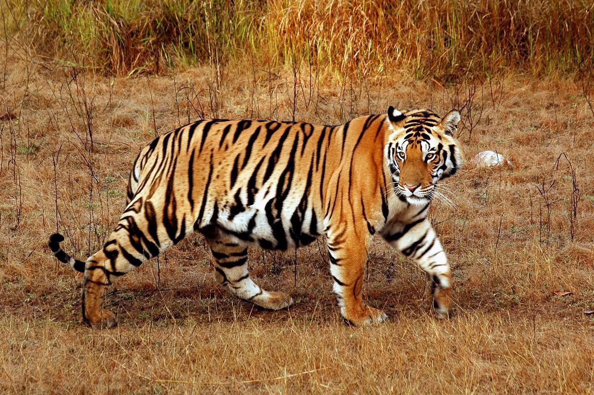 Indian Tiger Unseen Wallpaper ActressHDWallpapers 1204x800