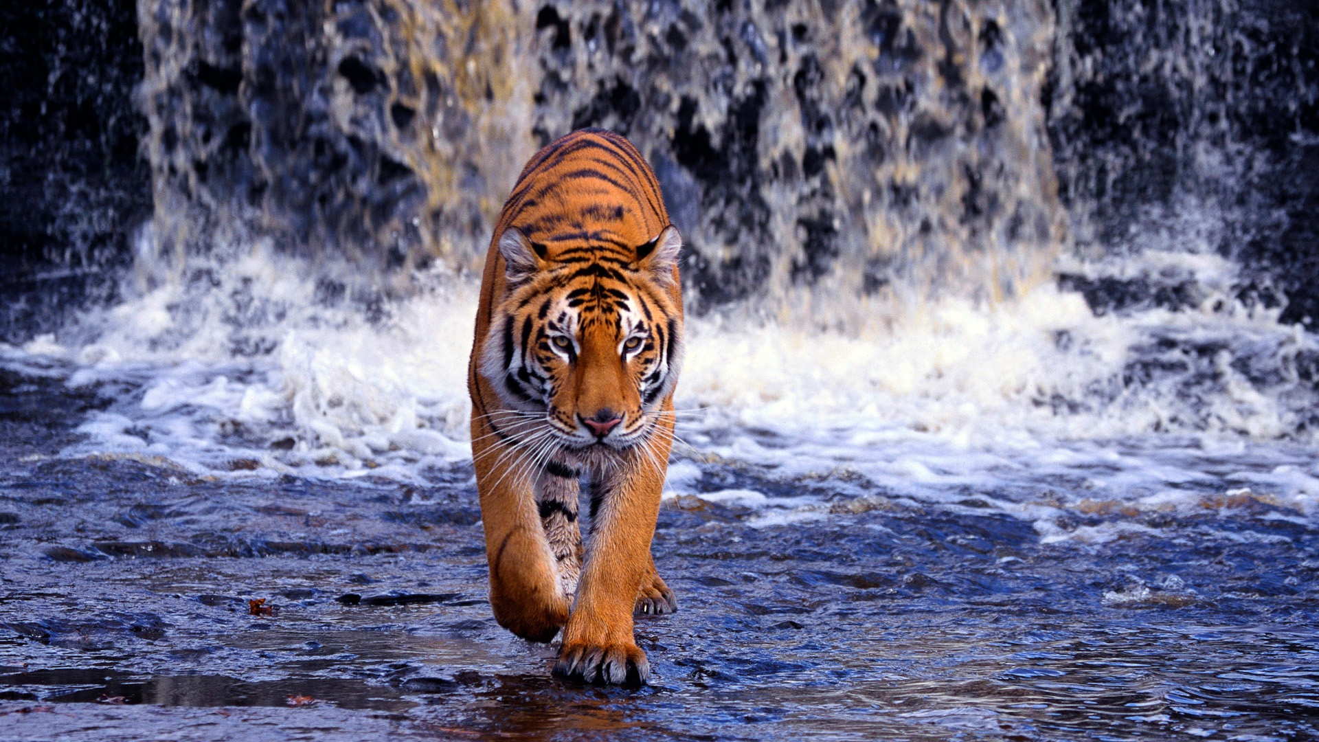 50 Tiger Wallpaper For Laptops On Wallpapersafari