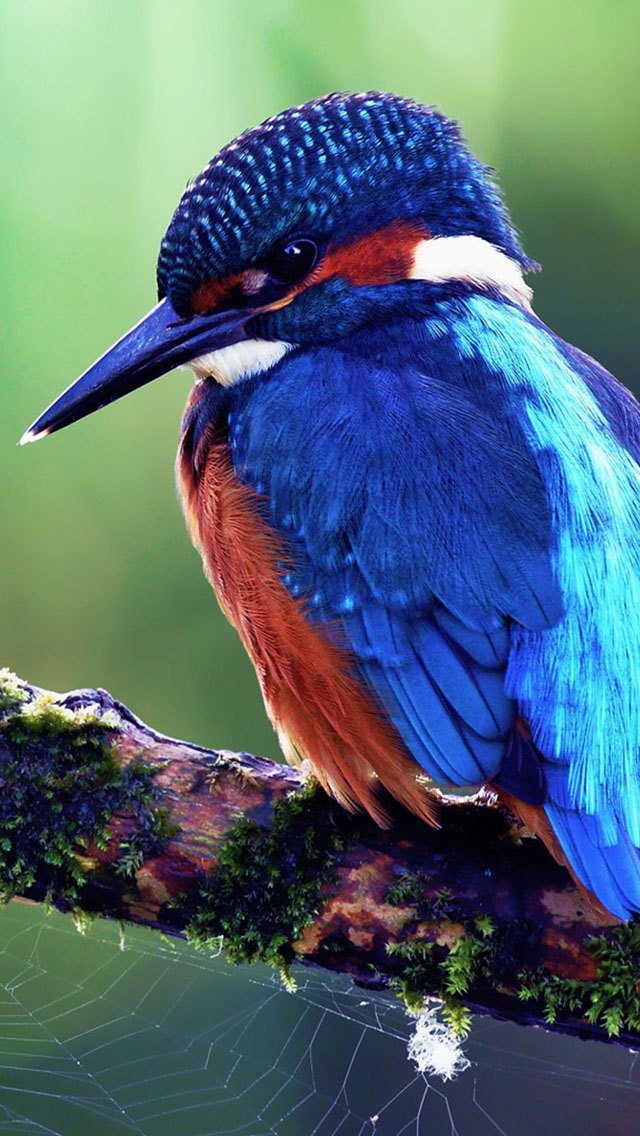 Blue Bird Wallpaper   iPhone Wallpapers 640x1136