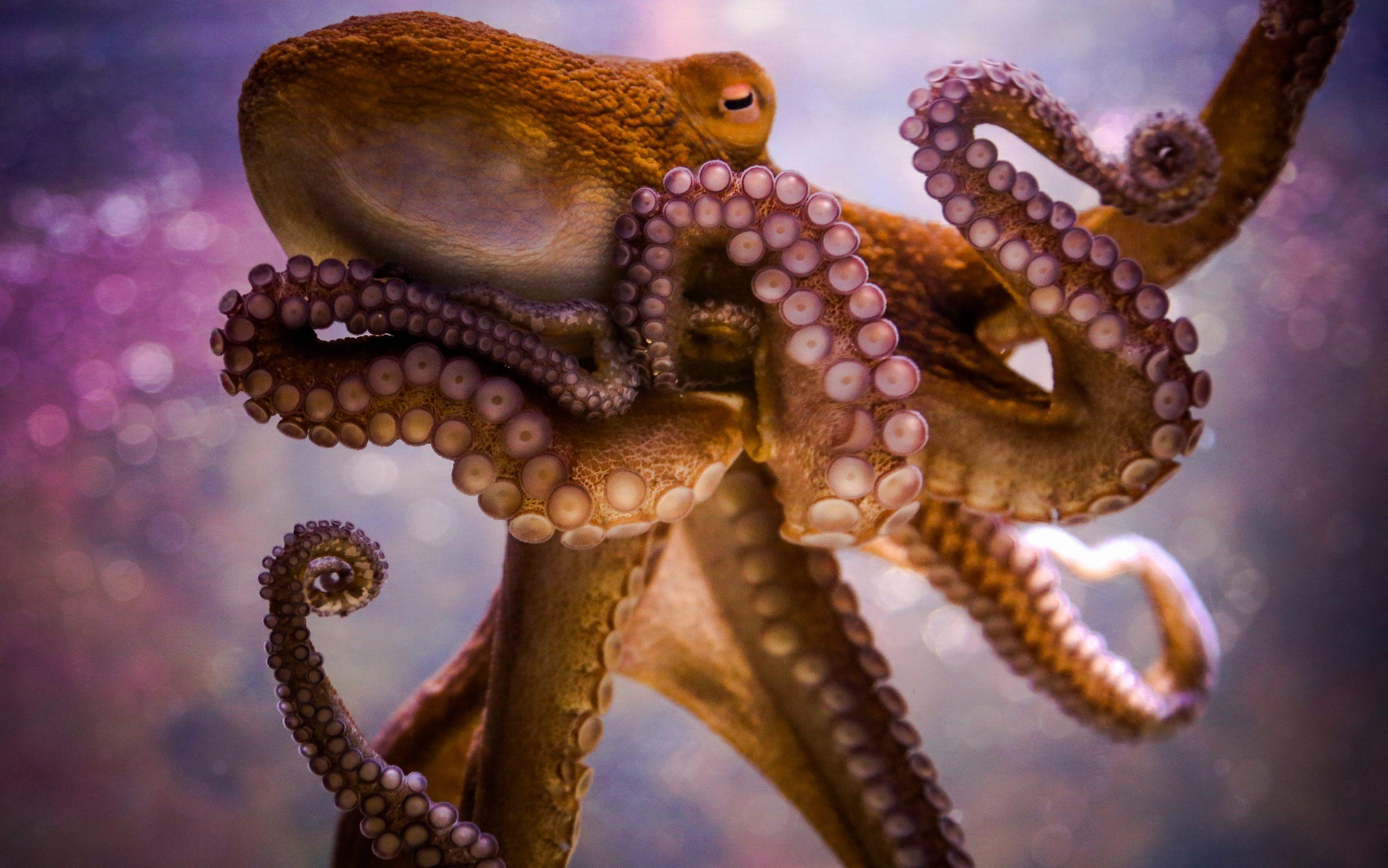 Octopus Wallpaper Wallpapersafari