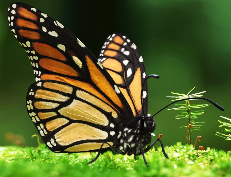 Monarch Butterfly Wallpaper Wallpaper HD 736x565