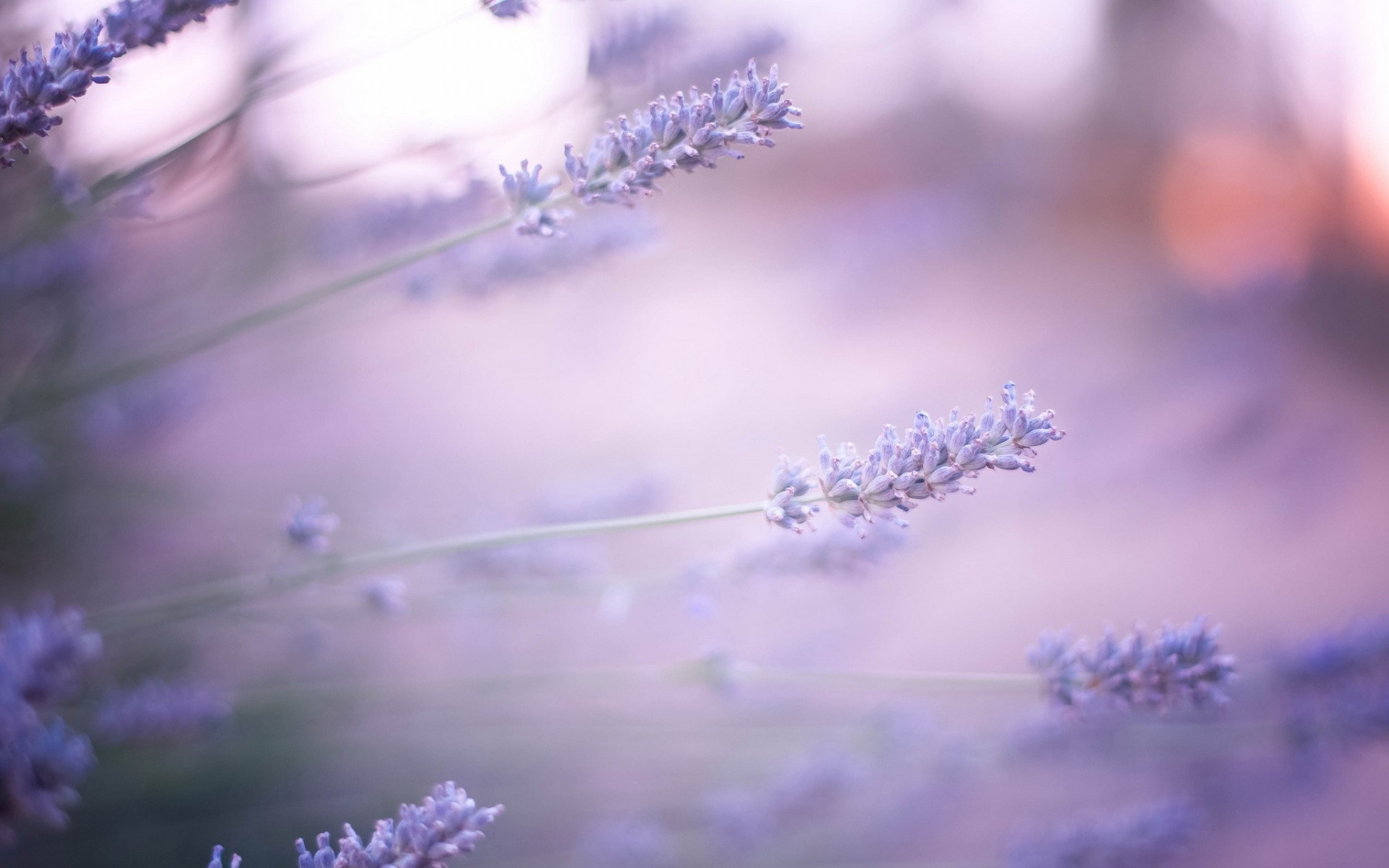 Macro Lavender Flower Wallpaper Wallpaper WallpaperLepi 1920x1200