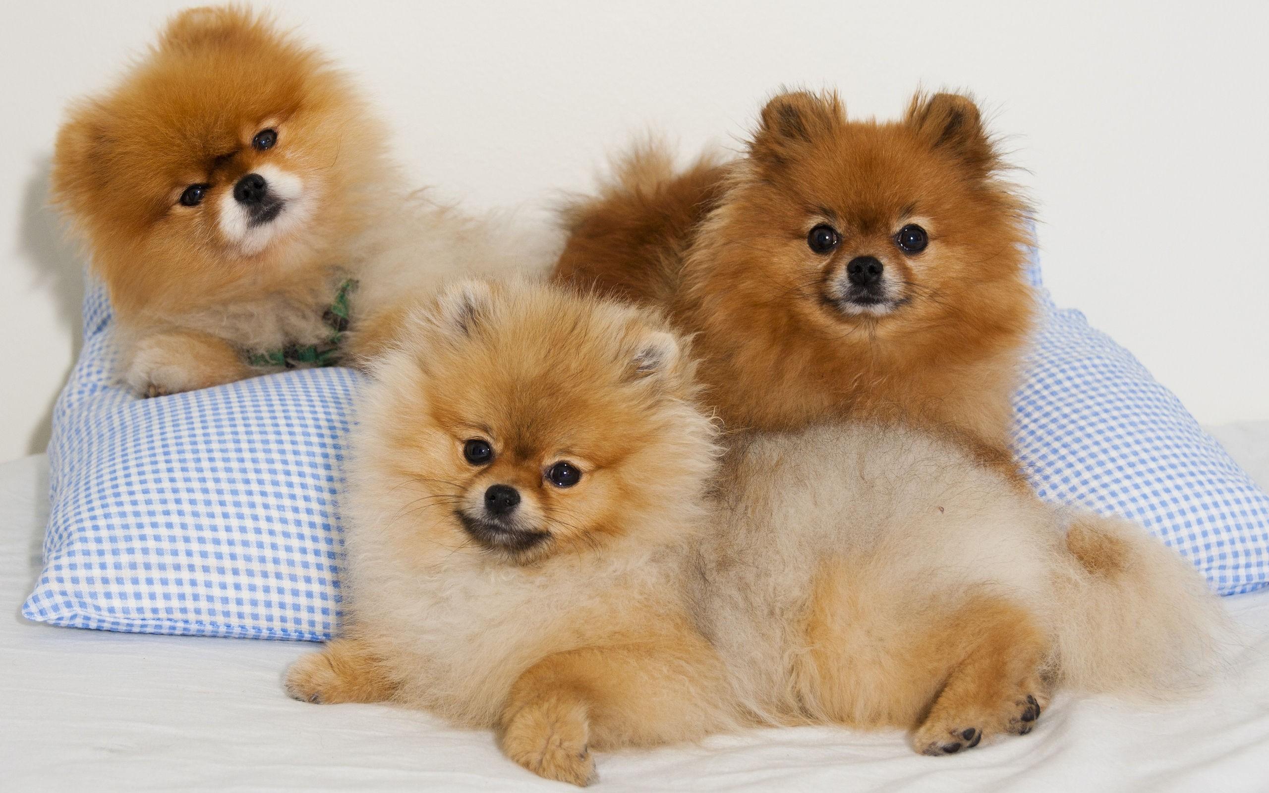 Beautiful Brown Pomeranian Dogs Widescreen High Resolution 2560x1600