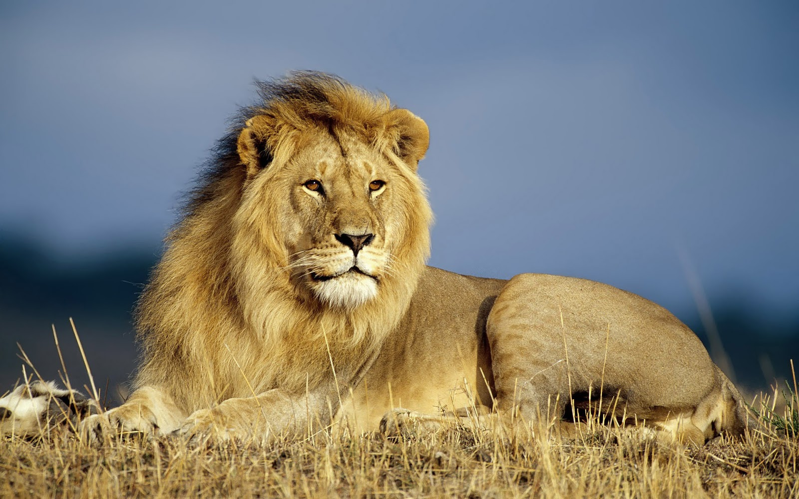 HD wallpaper Beautiful Wallpaper Of Big Lion Hd Animals Wallpapers 1600x1000