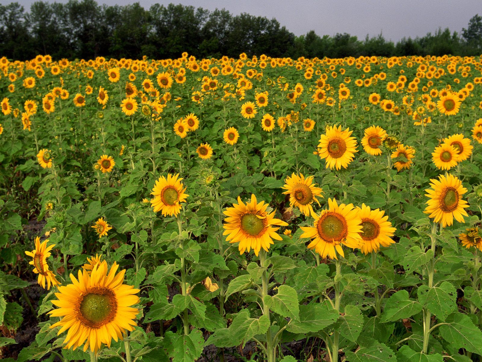 Field of Sunflowers North Dakota Wallpaper by sosyalinsan on 1600x1200