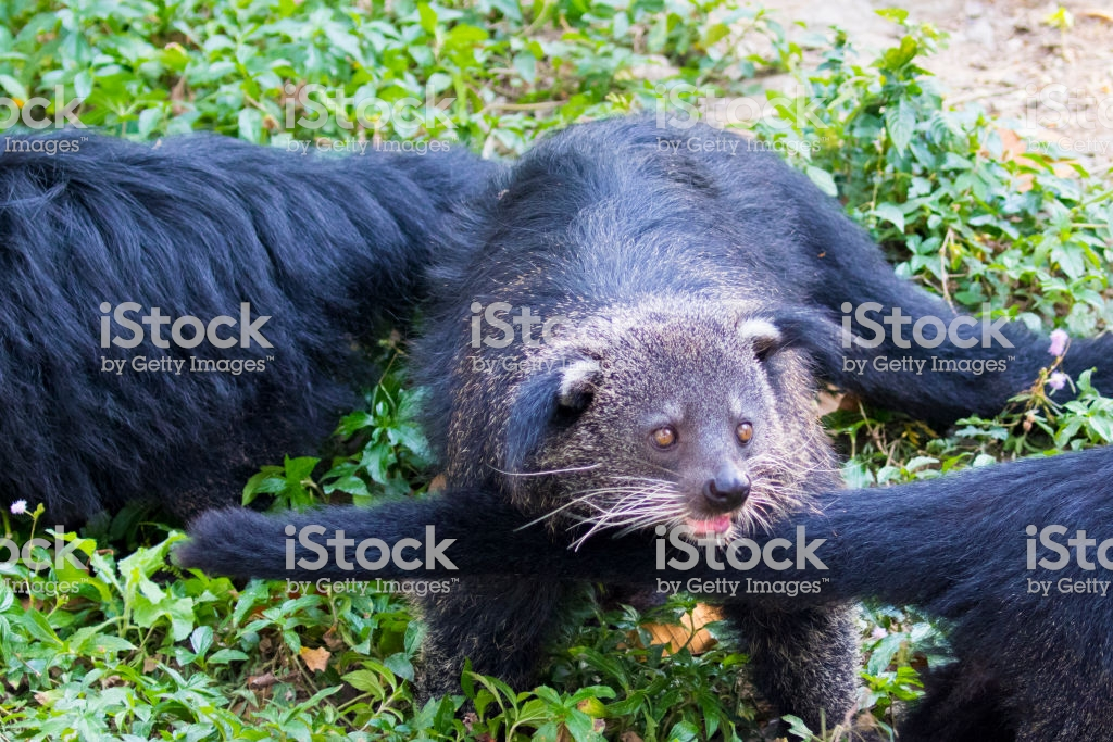 Image Of A Binturong Or Bearcat On Nature Background Wild Animals 1024x683