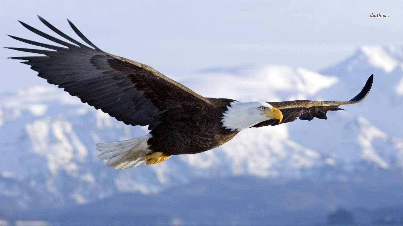 251 Bald Eagle HD Wallpapers Background Images 1366x768