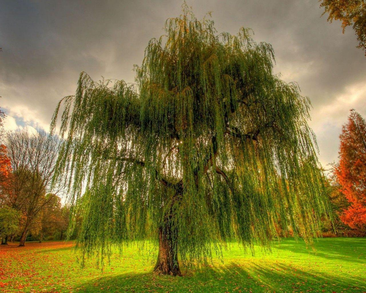 Weeping Willow Wallpapers 1280x1024