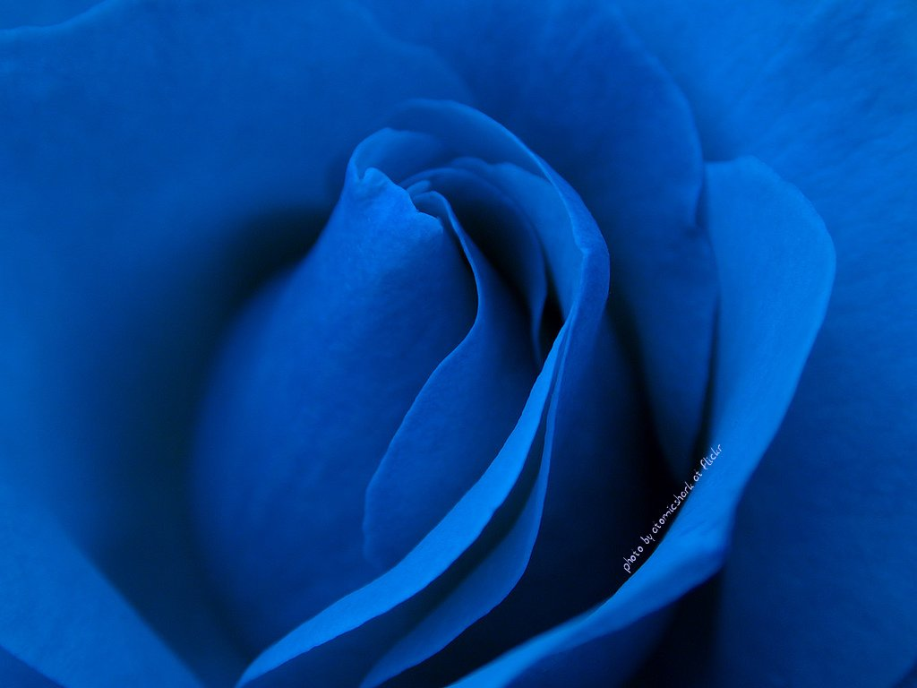 HD Wallpaper of Blue Rose HD Wallpapers 1024x768