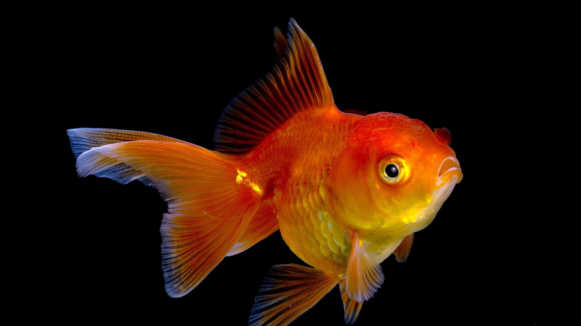 15 Goldfish HD Wallpapers Backgrounds 1920x1080