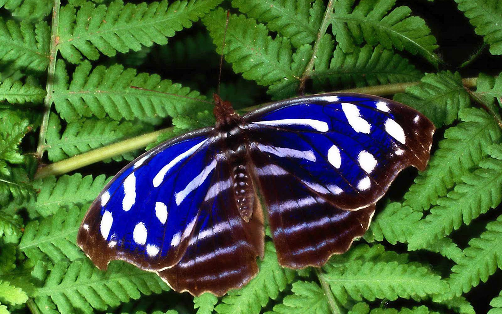 hd butterfly with a blue butterfly sitting on a green leaf butterflies 1600x1000