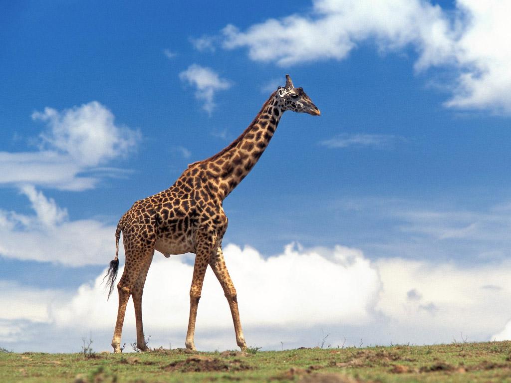 Giraffes images Giraffe HD wallpaper and background photos 122907 1024x768