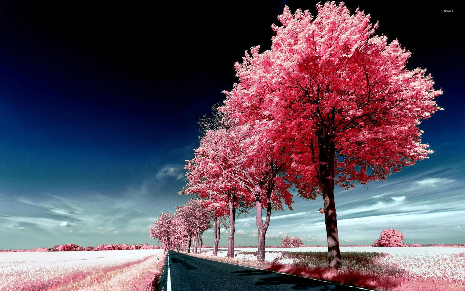 Roadside pink trees wallpaper   Nature wallpapers   29447 1920x1200