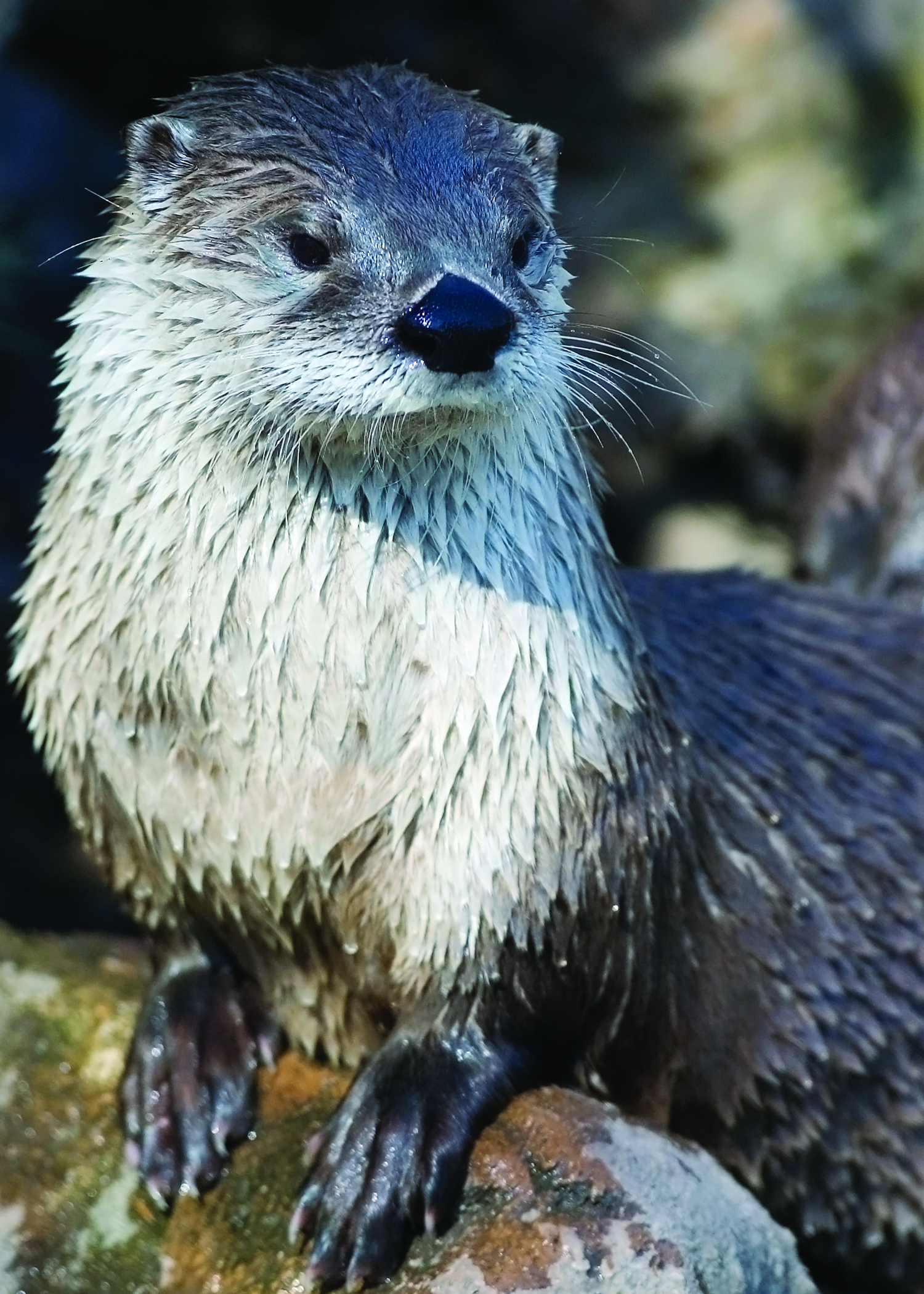 Adopt a River Otter   Wildlife Adoption and Gift Center 1500x2100