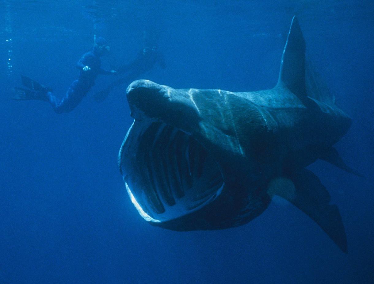 Megalodon Basking Shark Wallpapers Desktop HD Sharks Hd Wallpapers 1220x926