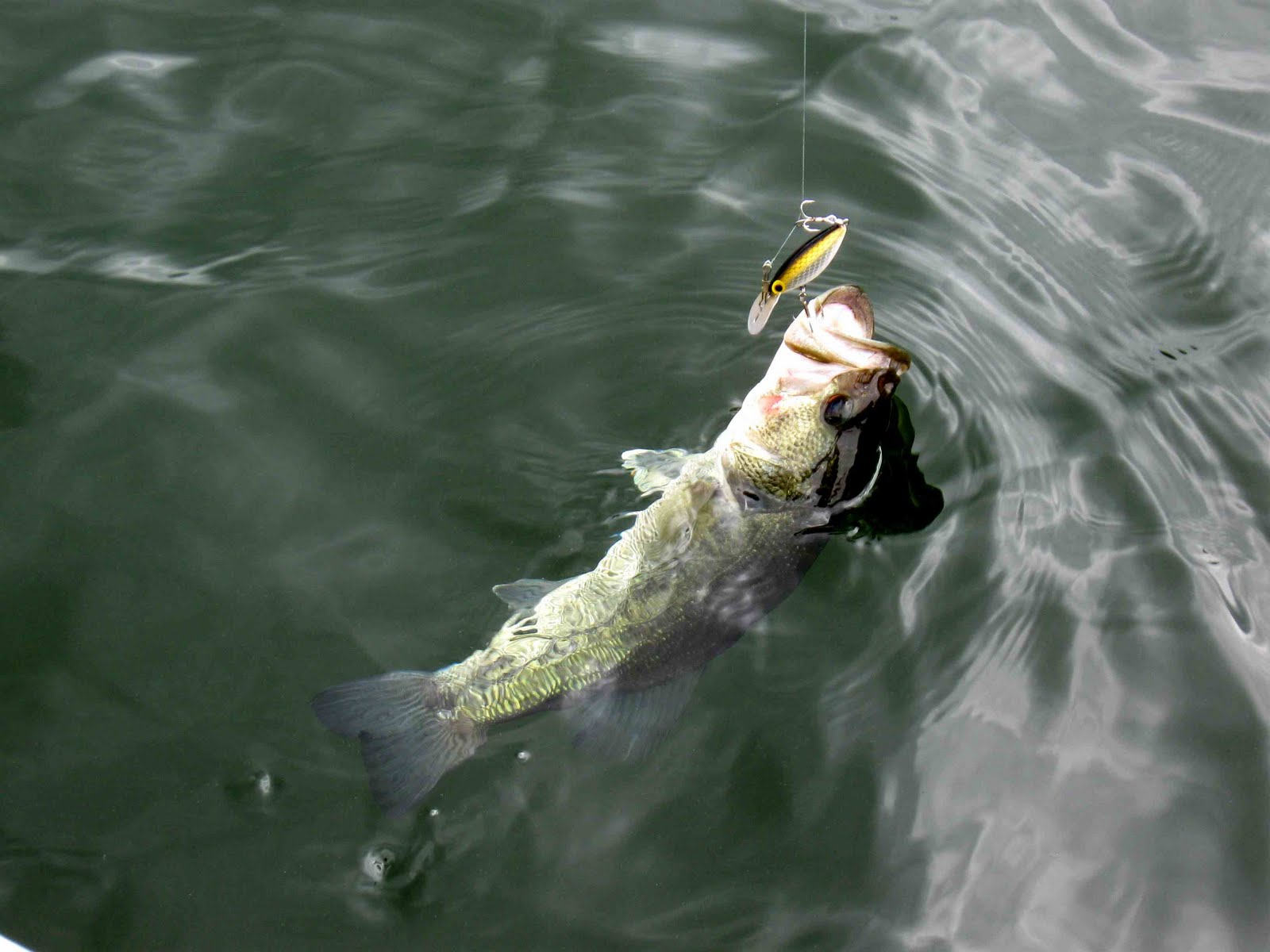 Largemouth Bass Hd Wallpaper For Desktop Largemouth bass 1600x1200