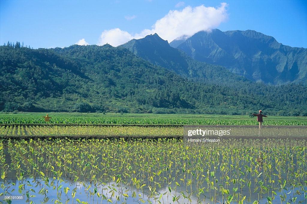 Hawaii Kauai Hanalei Valley Taro Field With Scarecrows Mountains 1024x682