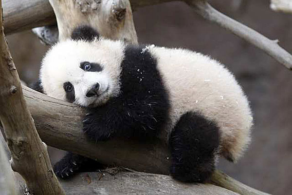 Wallpapers Cute Baby Panda Pictures 600x400