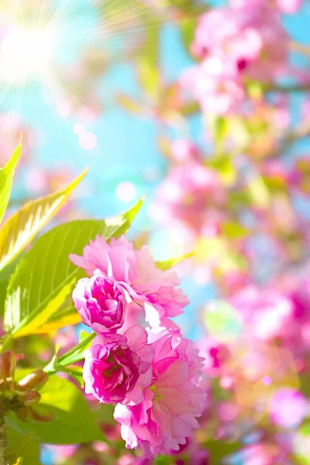 Cherry blossoms iPhone 4s Wallpaper Download iPhone Wallpapers iPad 640x960