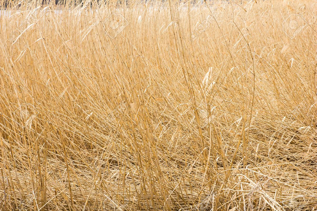 Dry Yellow Grass Background Texture Stock Photo Picture And 1300x866