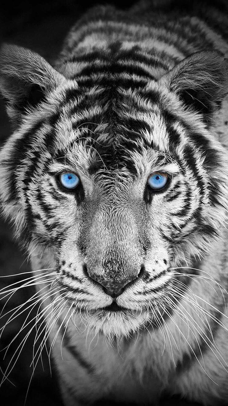 Blue Eyes Pet tiger Tiger wallpaper Tiger photography 750x1334