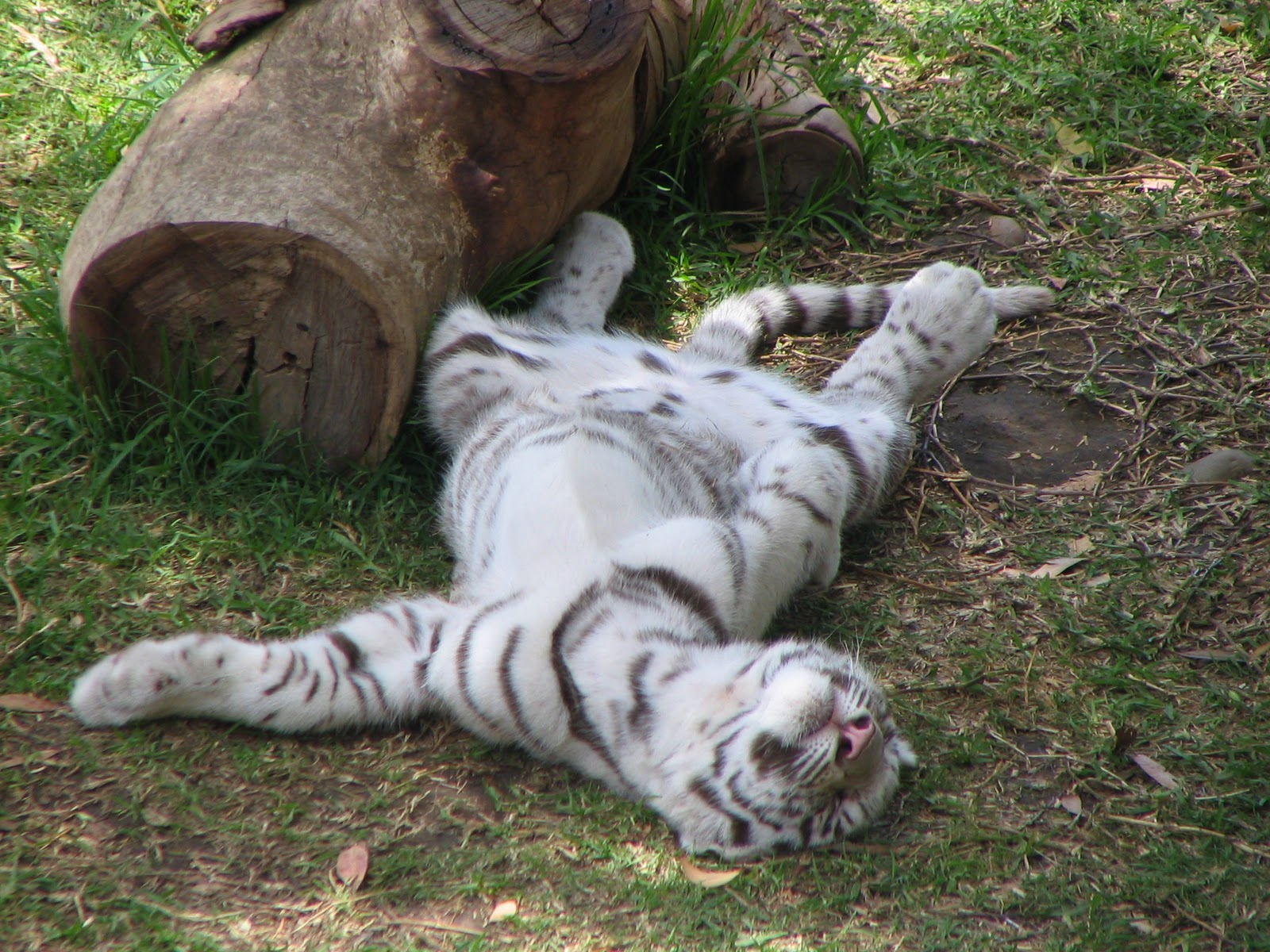 TIGER WALLPAPERS White Tiger Cub Wallpapers 1600x1200