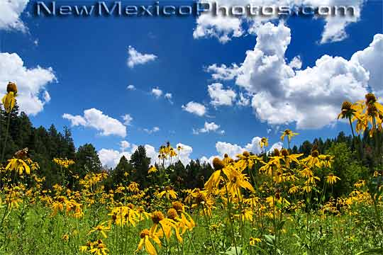 photograph of a field of yellow cutleaf coneflowers in the Sandias 540x360