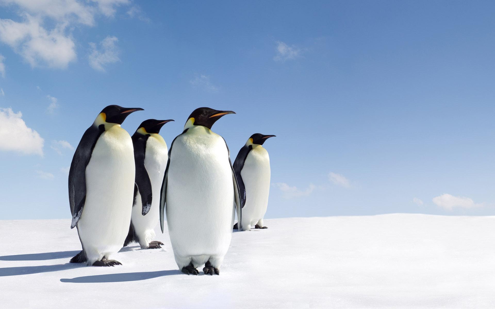 Penguins   Penguins wallpaper 40983090   fanpop 1920x1200