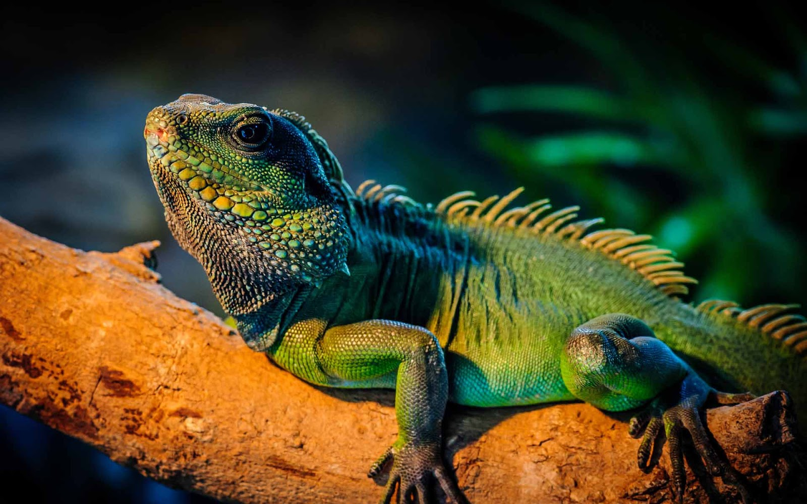 Iguana Wallpapers   Asian Pretty HD Wallpapers 1600x1000