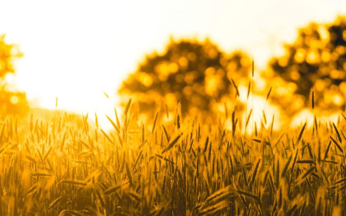 Nature macro wheat rye field sun tree wallpaper 1920x1200 1120x700