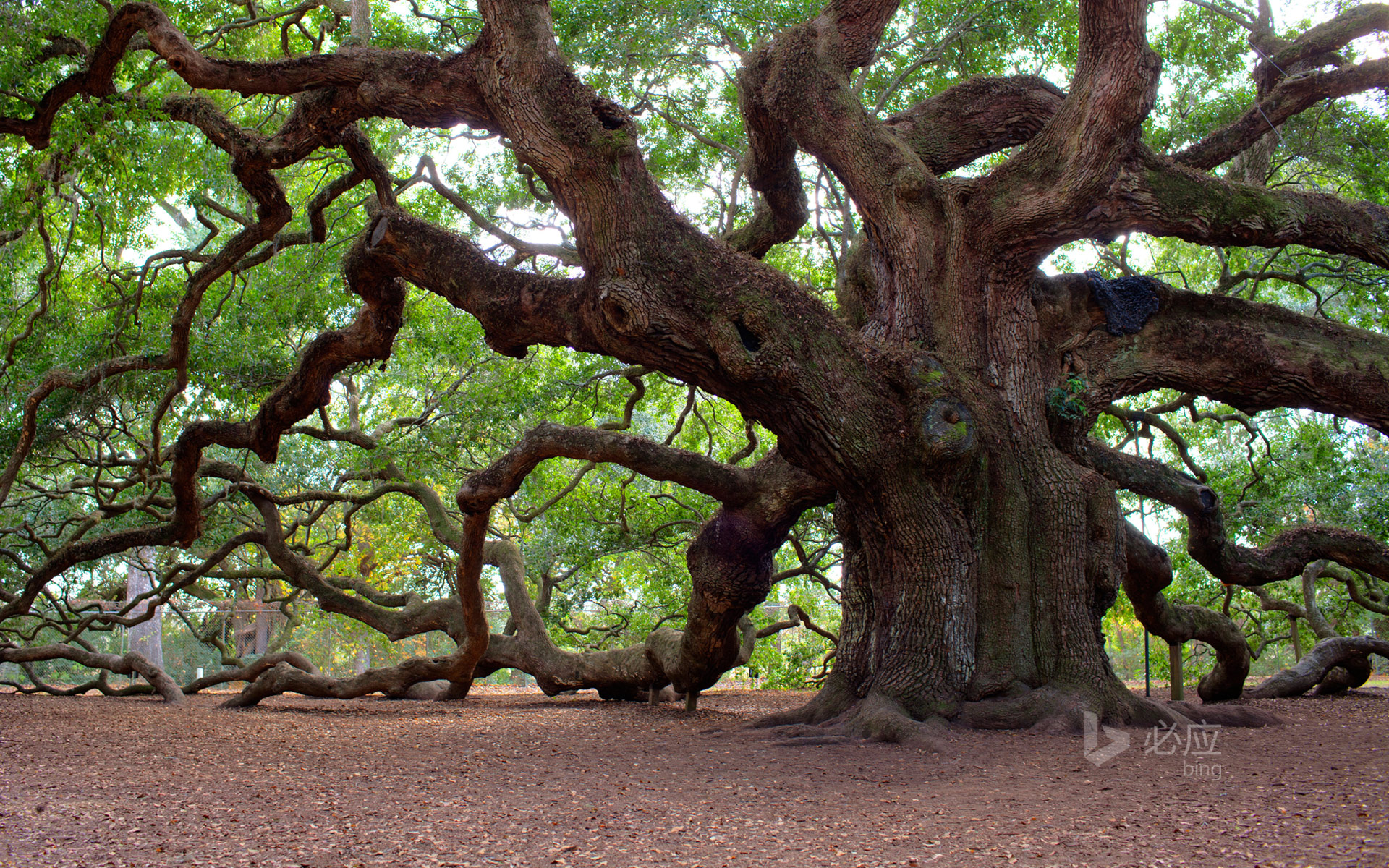 Angel Oak Tree Charleston South Carolina HD Bing Wallpaper Archive 1920x1200