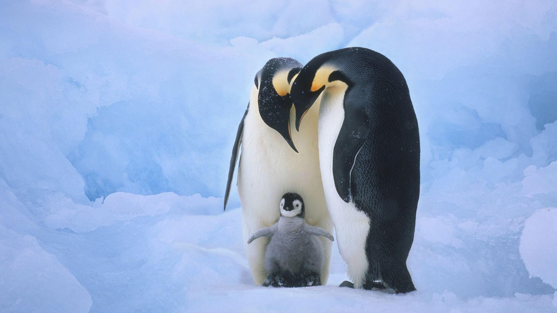 Cute Penguin Backgrounds 1920x1080