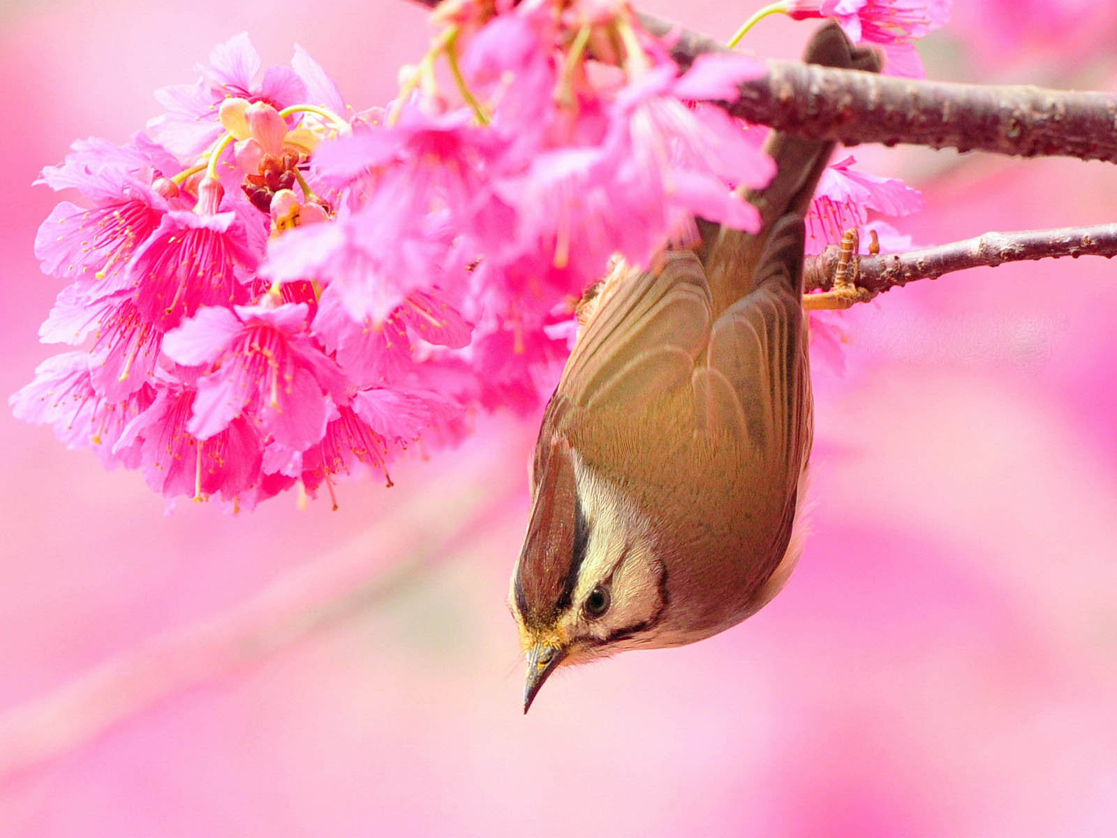 download bird and flower wallpaper which is under the birds wallpapers 1600x1200
