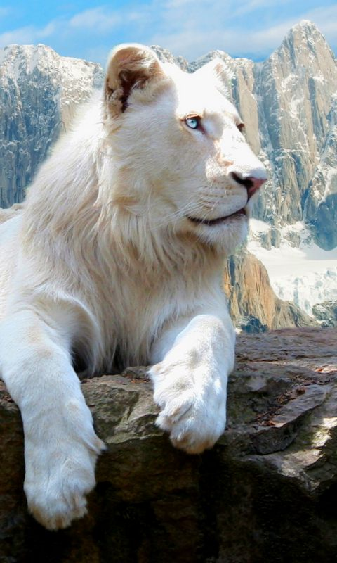 White Lion Cell Phone Wallpaper 480x800