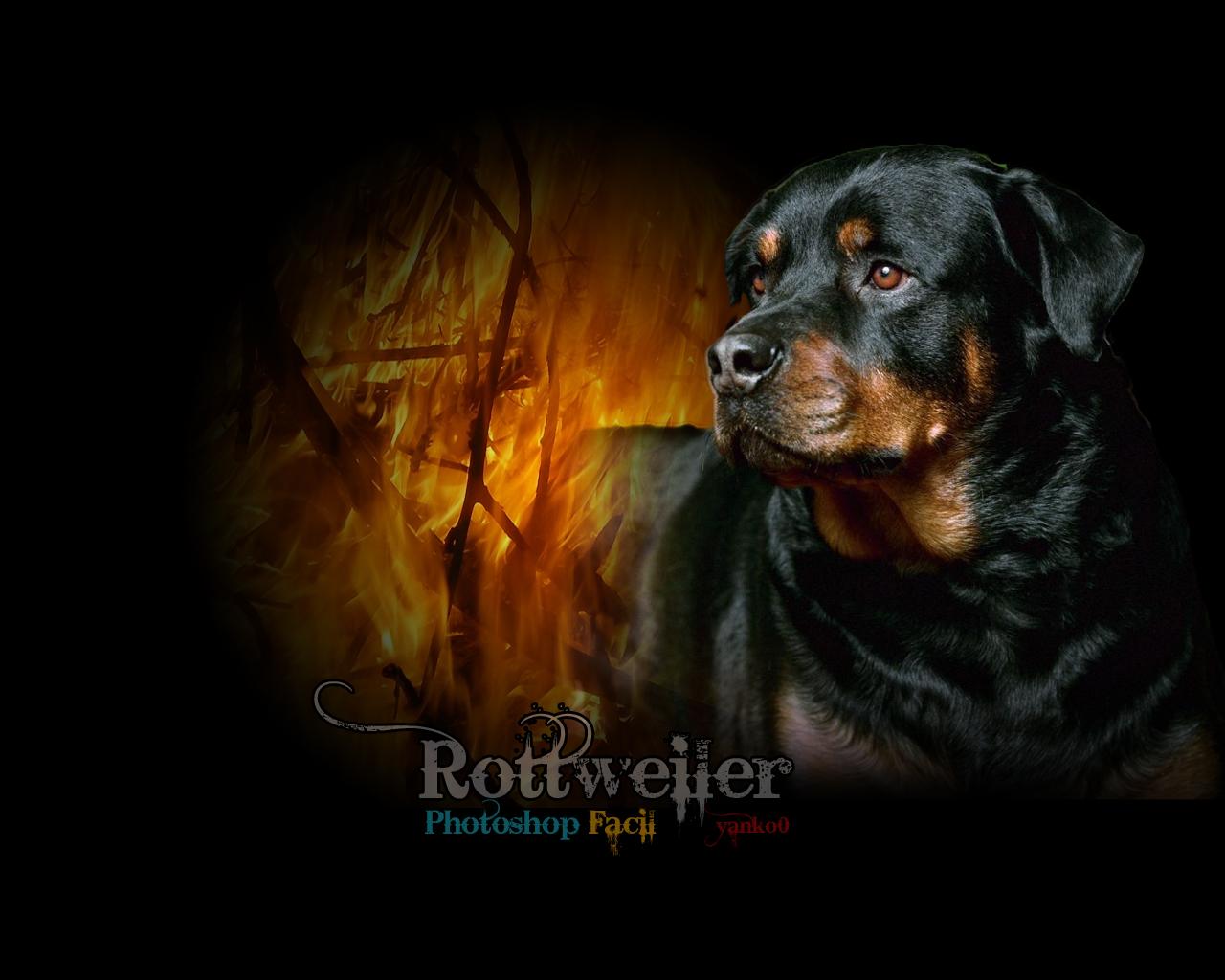 Rottweiler Wallpaper 3d Images Pictures