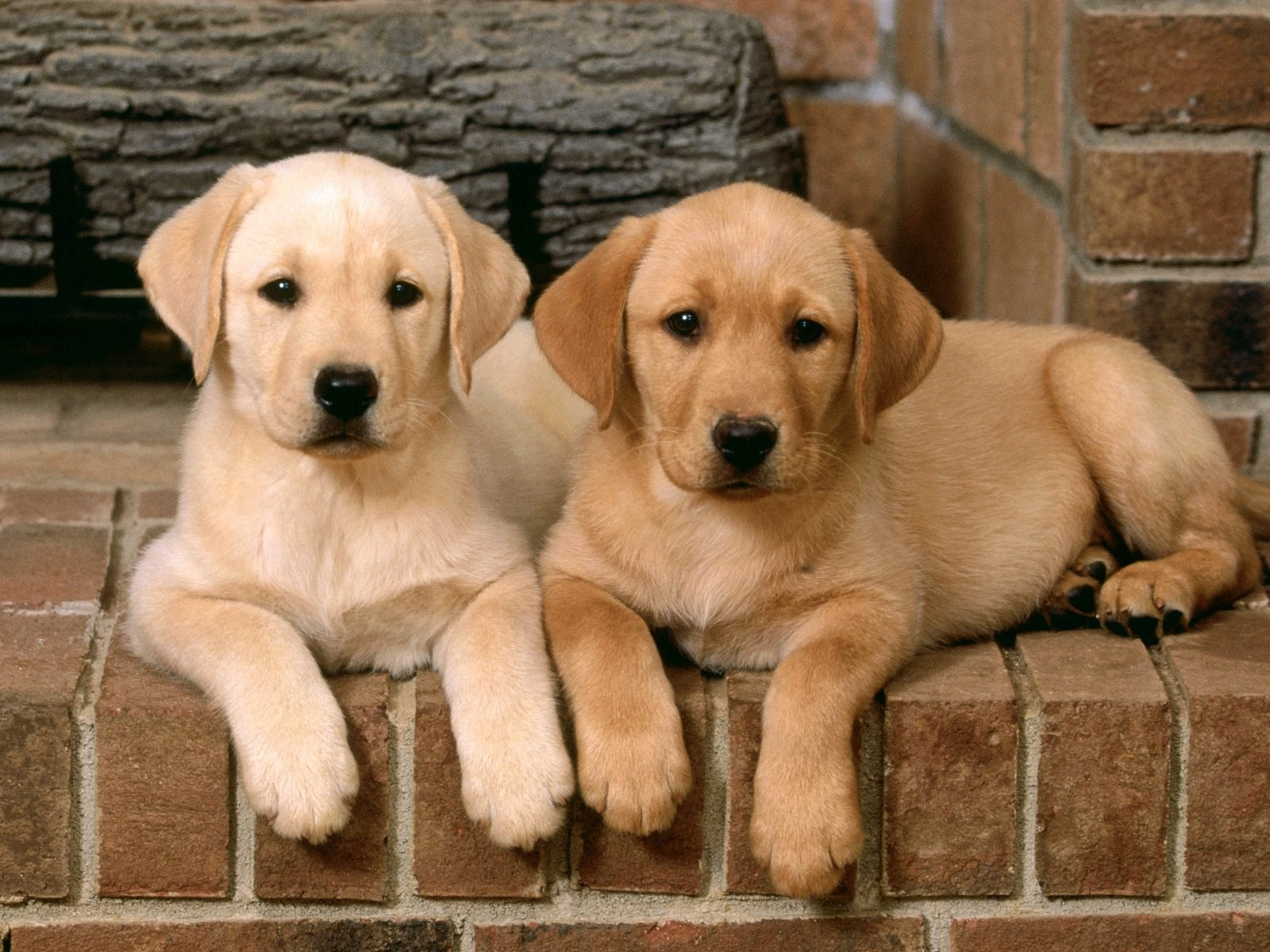 1600x1200 Yellow Lab Puppies Wallpapers 1600x1200
