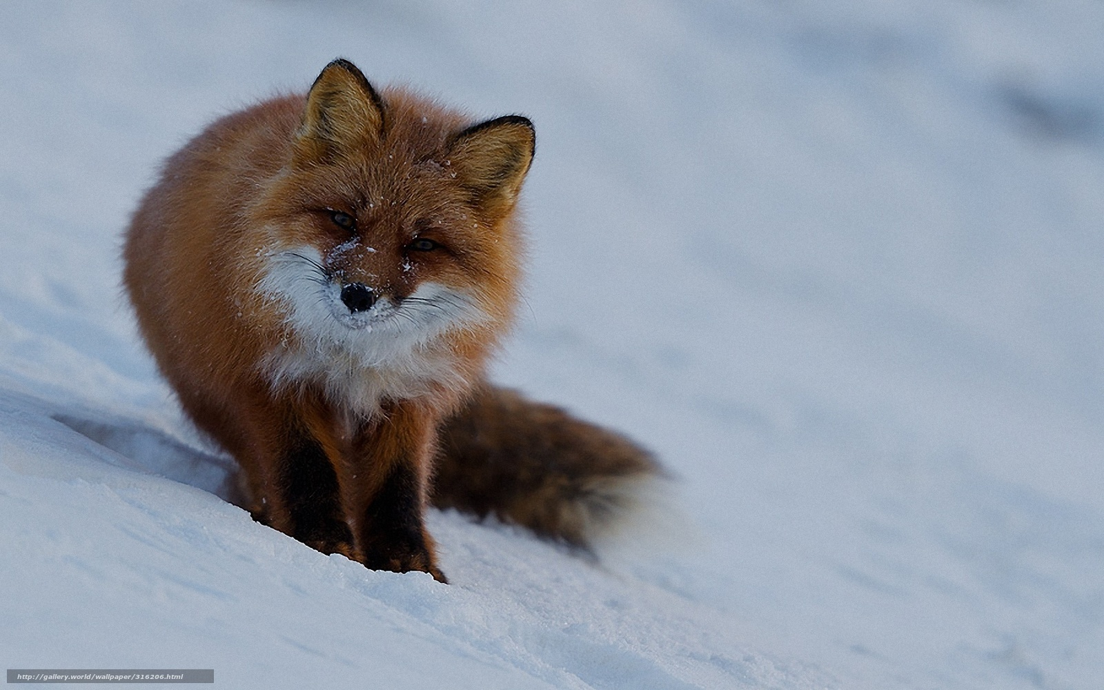 Cute fox wallpaper wallpapersafari - Fox desktop background ...
