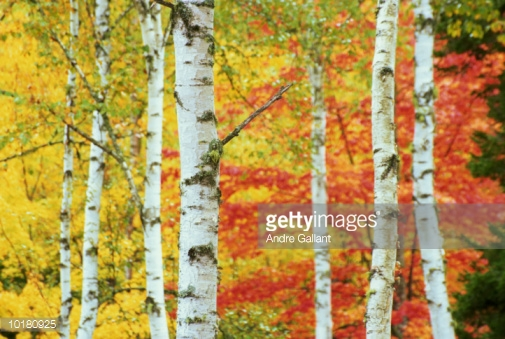 Autumn Birch Tree New Brunswick Canada Stock Photo Getty Images 505x339