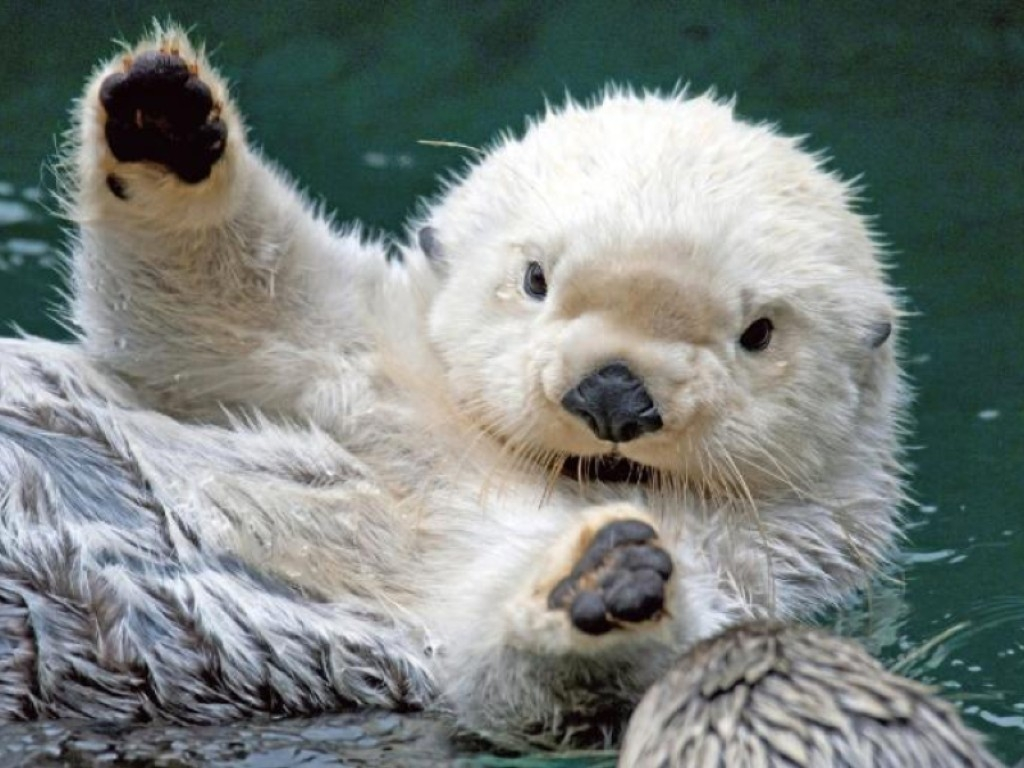 1024x768 Sea Otter Wallpaper Download 1024x768