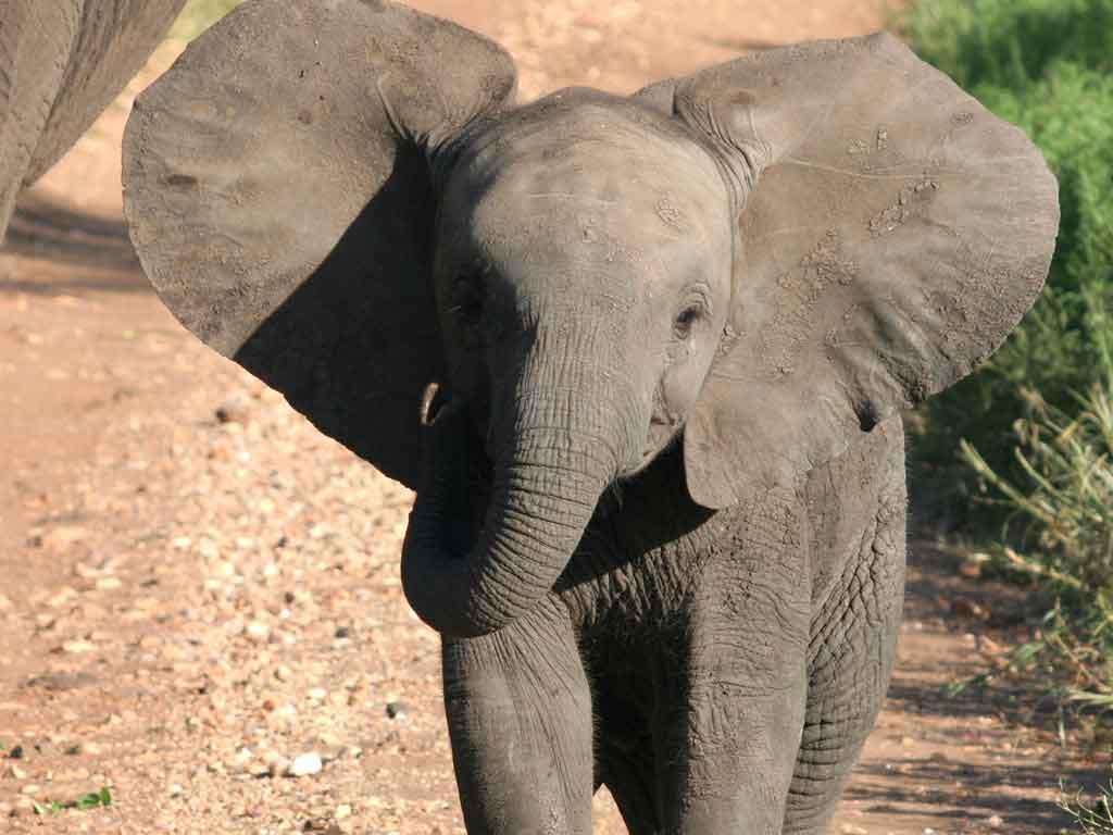 Baby elephant wallpaper wallpapersafari - Baby elephant wallpaper ...