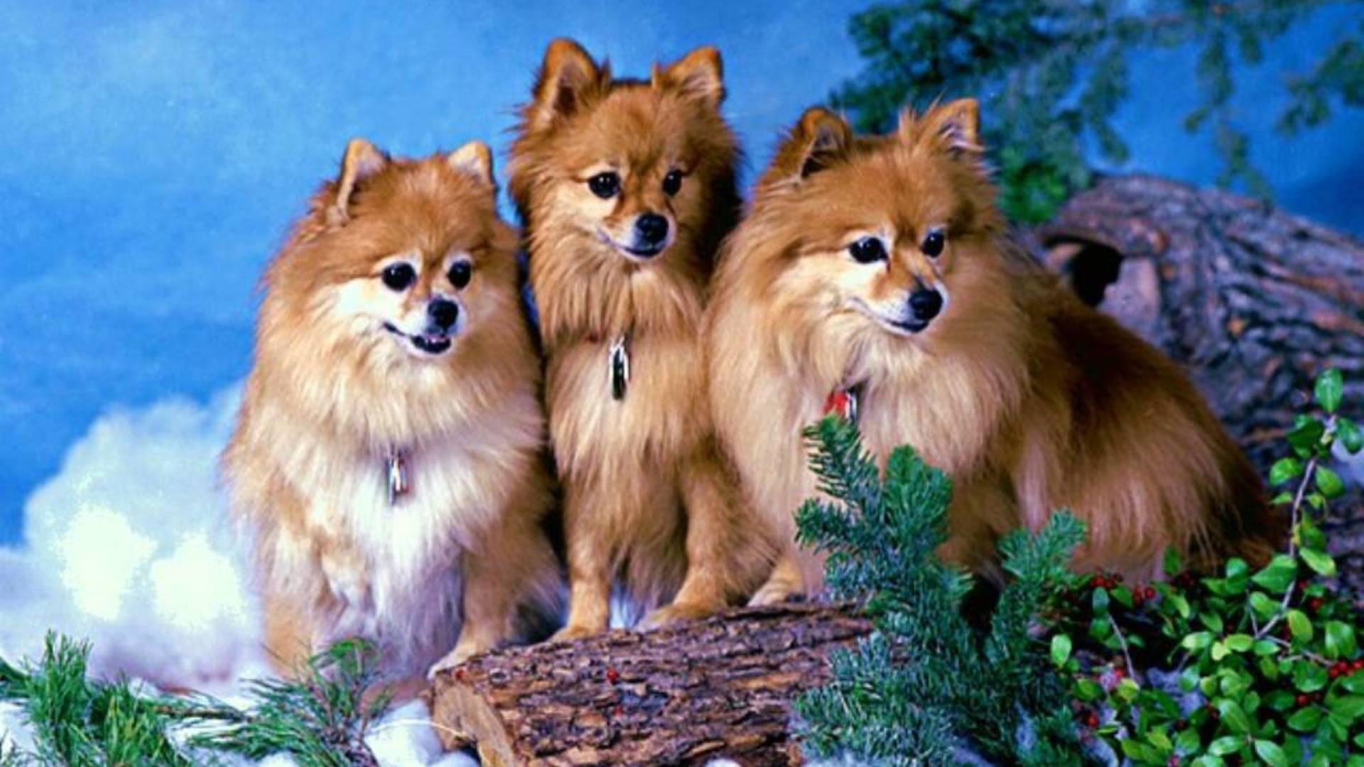 Hd Pomeranian Wallpapers Wallpapersafari