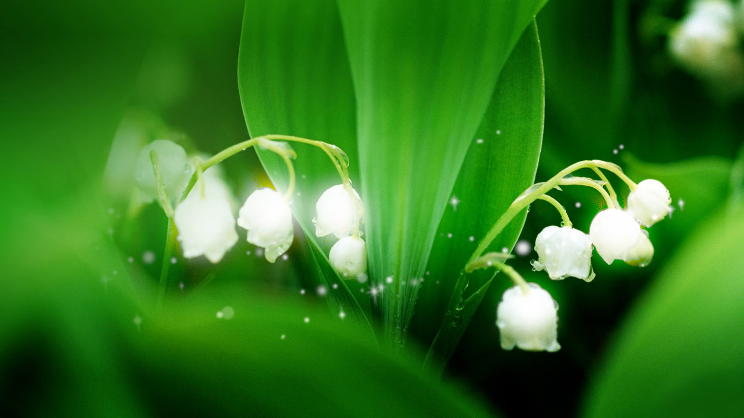 Free Download Lily Of The Valley Wallpapers Beautiful Lily Of The