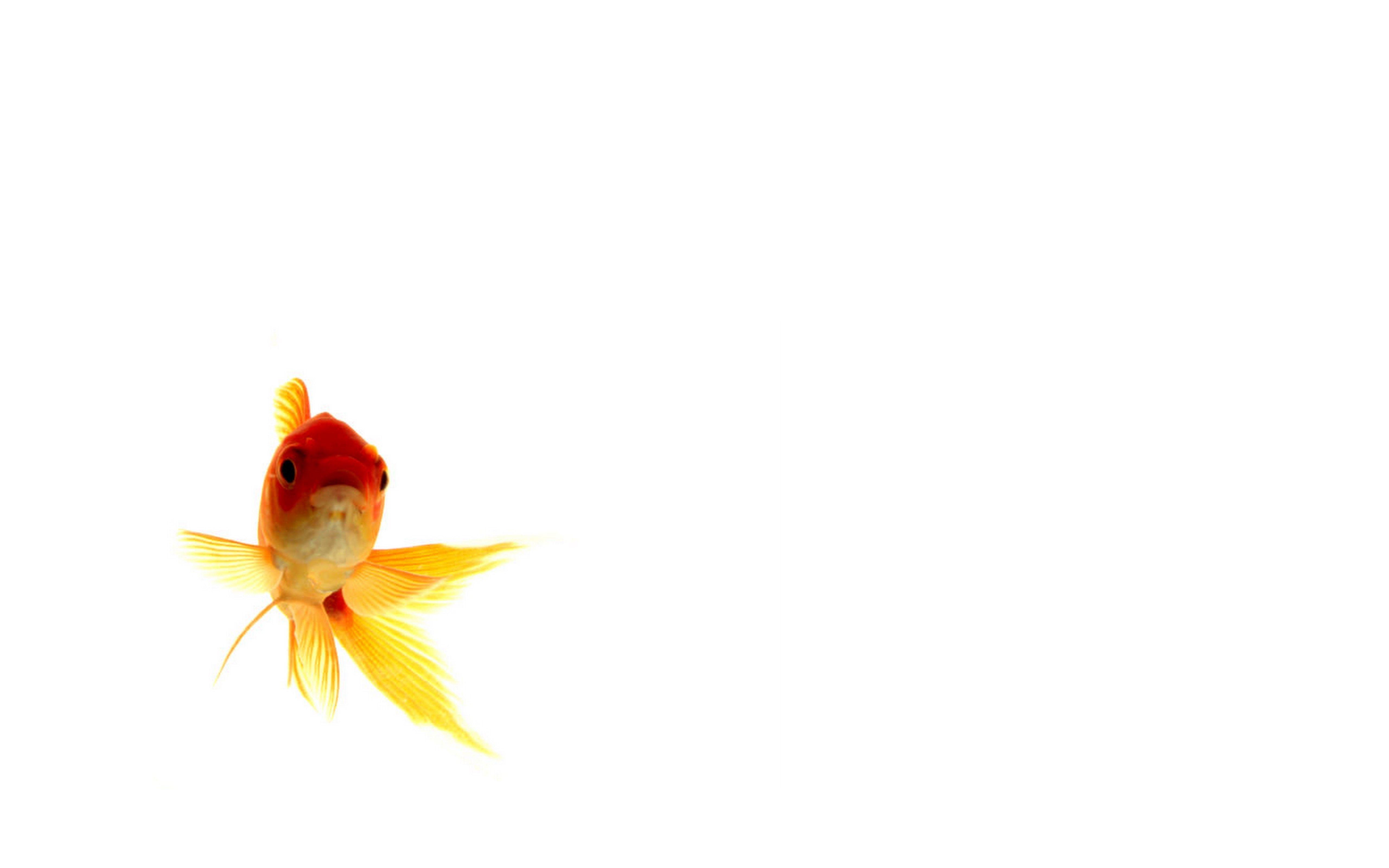 Goldfish Wallpapers 5120x3200