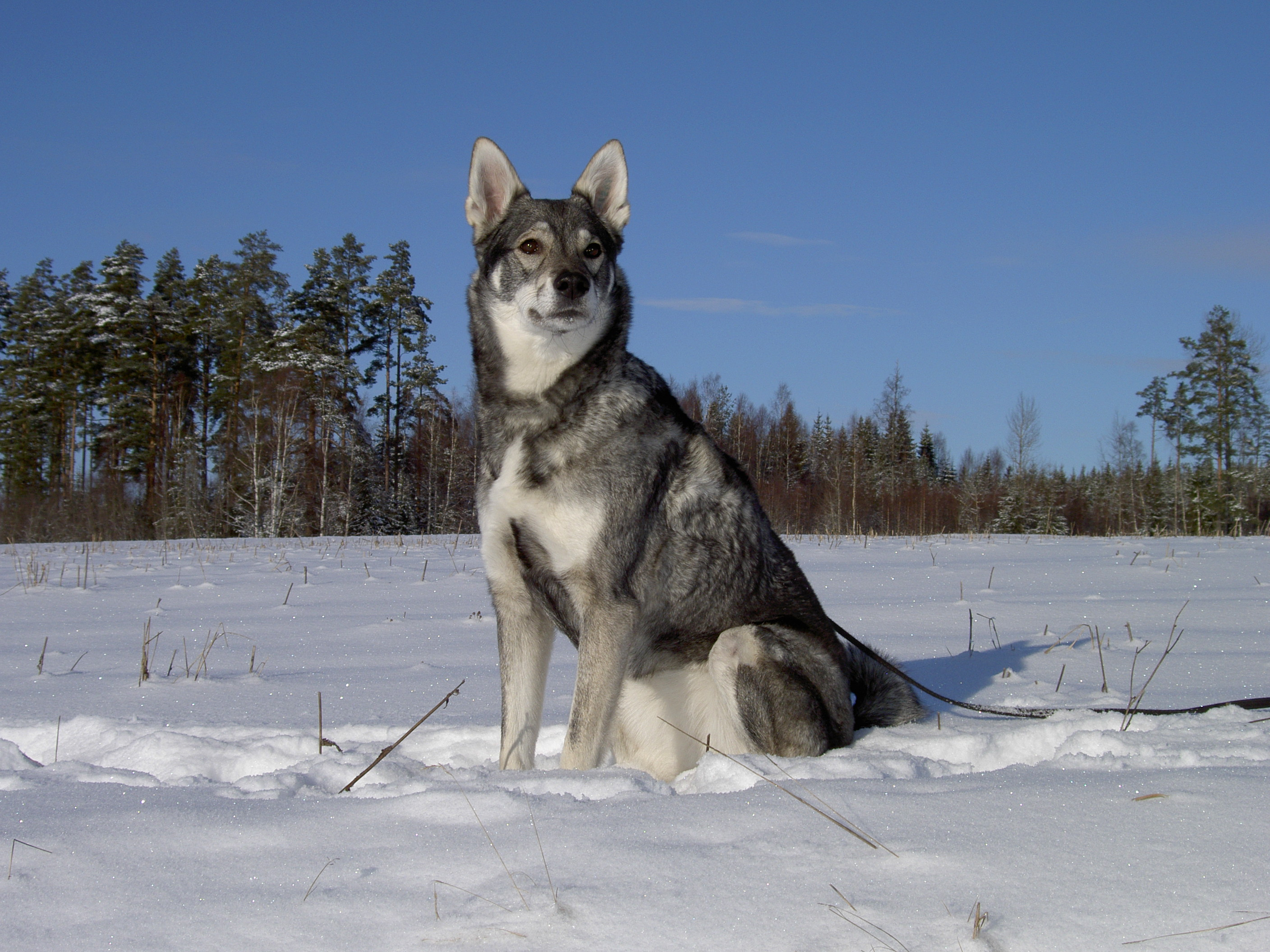 Jmthund dog in the snow photo and wallpaper Beautiful Jmthund dog 2816x2112