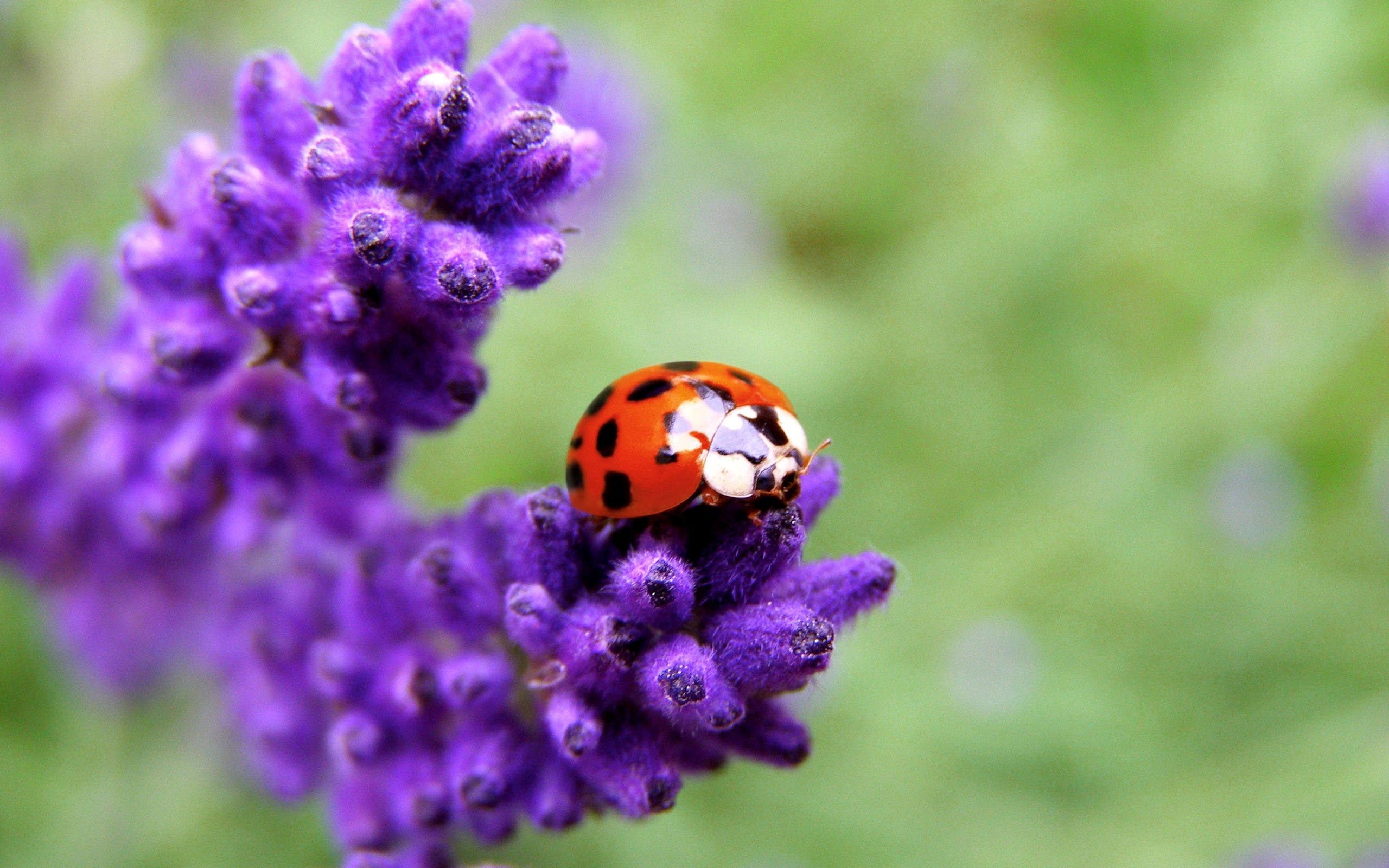 Ladybugs Wallpaper Originals provides original animal   Ladybugs 2560x1600